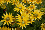 Rudbeckia hirta Yellow Flowers