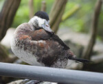 Ruddy Duck Standing