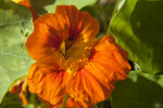 Ruffled Flower with Deep Orange and Yellow Colors