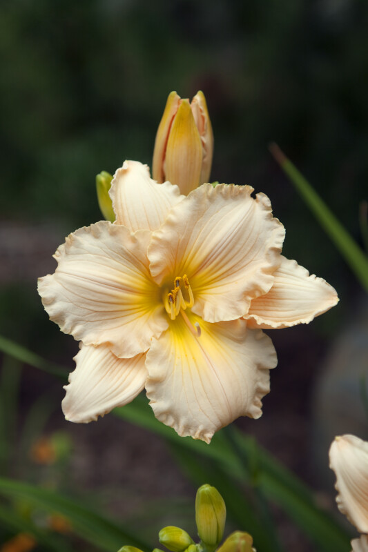 """Ruffled Parchment"" Daylily in Denver, Colorado"