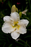 Ruffled Parchment