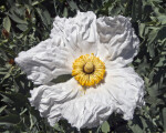 Ruffled, White Papaver Flower