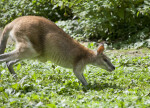 Running Agile Wallaby