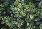 Rusty Lyonia Plant