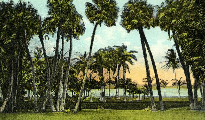 Sabal Palms in Florida