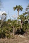 Sabal Palms
