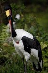 Saddle-Billed Stork with Beak Tucked In