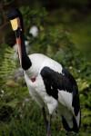 Saddle-Billed Stork with Beak Tucked In