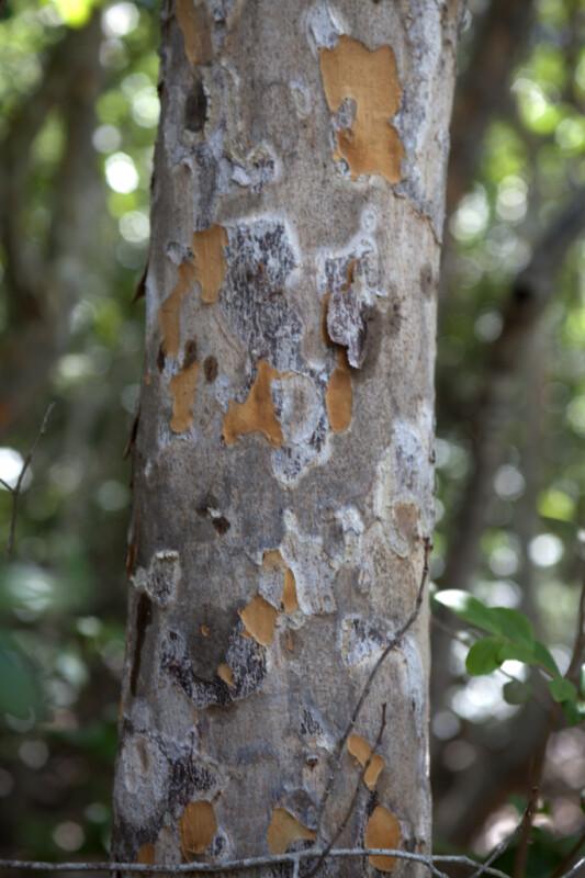 Saffron Plum Bark