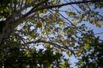 Saffron Plum Branches