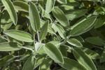 Sage Leaves Close-Up