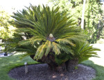 Sago Palm at Capitol Park in Sacramento