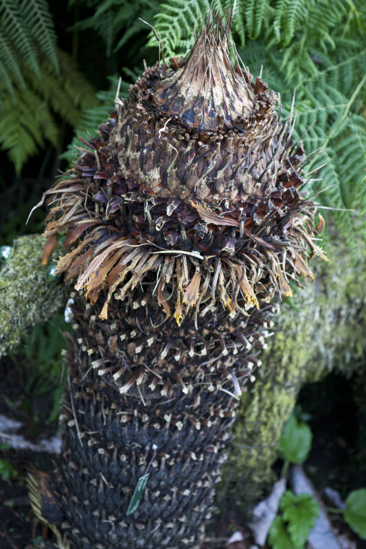 Sago Palm Trunk