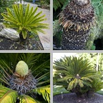 Sago Palms photographs