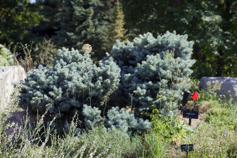 """Saint Mary's Broom"" Colorado Blue Spruce"