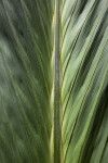 Salacca magnifica Palm Frond Up-Close