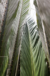 Salacca magnifica Palm Fronds