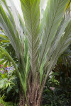 Salacca magnifica Palm  Tree