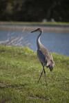 Sandhill Crane by Fish Pond