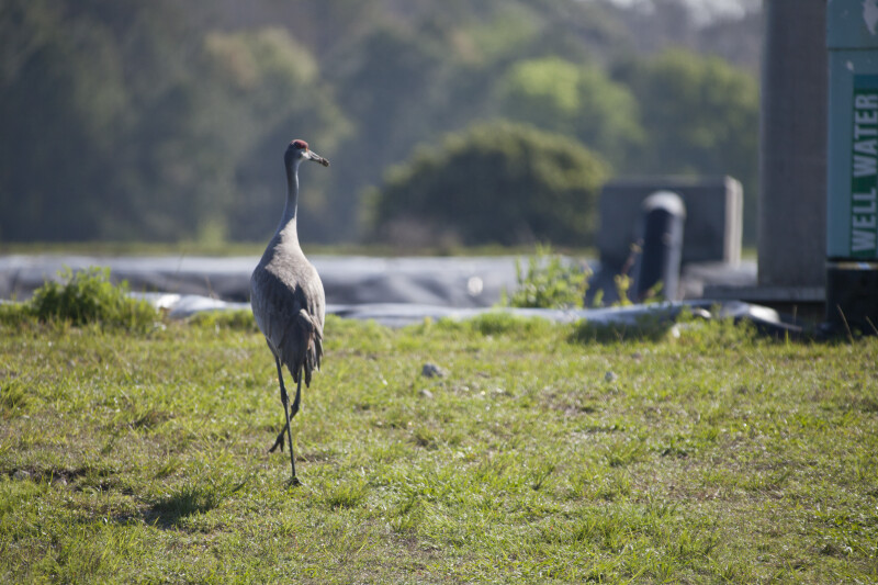Sandhill Crane from Rear