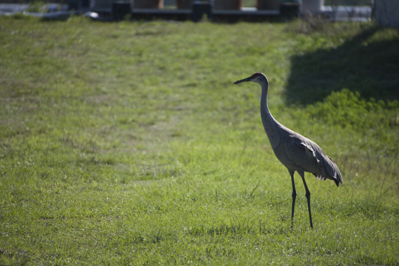Sandhill Crane from Side
