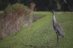 Sandhill Crane Honking