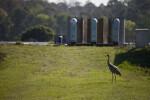 Sandhill Crane in Grass