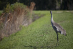Sandhill Crane Looking to Side