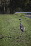 Sandhill Crane on Path