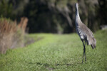 Sandhill Crane Turning Head