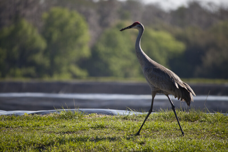 Sandhill Crane Walking