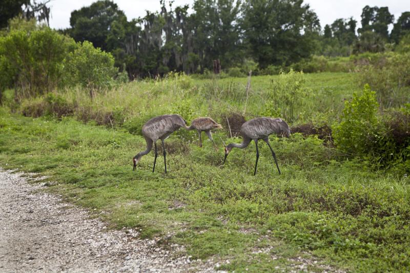 Sandhill Cranes at Circle B Bar Reserve
