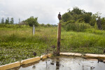 Sandhill Cranes Check Out Restoration Site