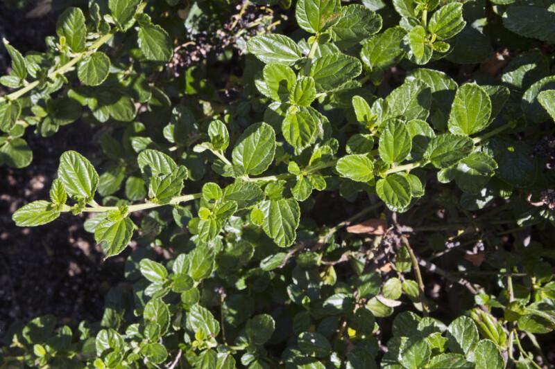 Santa Ana Carmel Creeper Leaves