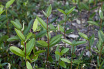 Saplings at the Florida Campgrounds of Everglades National Park