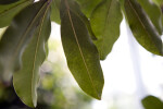 Sapodilla Leaves