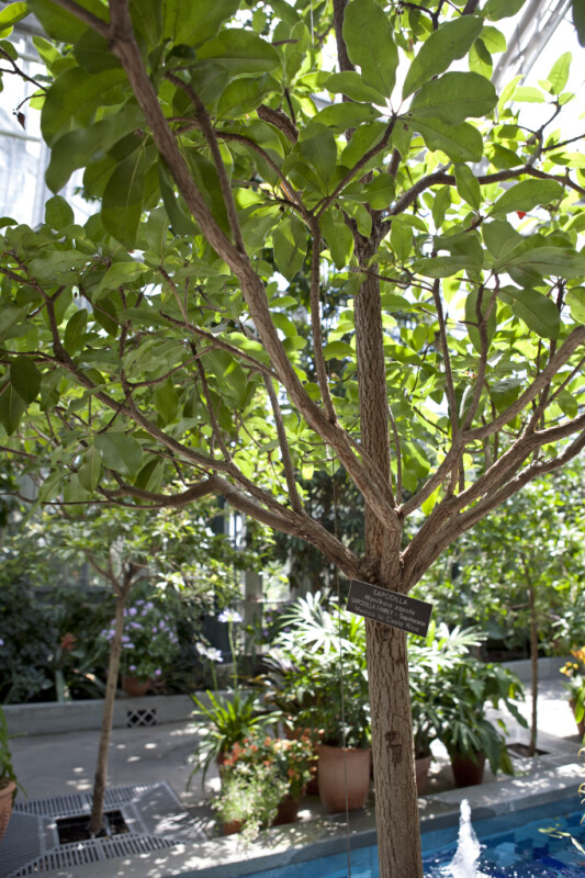 Sapodilla Tree Pictures