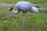 Sarus Crane Stalking Prey