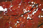Sassafras Leaves and Branches Close-Up