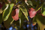 Sassafras Leaves Close-Up
