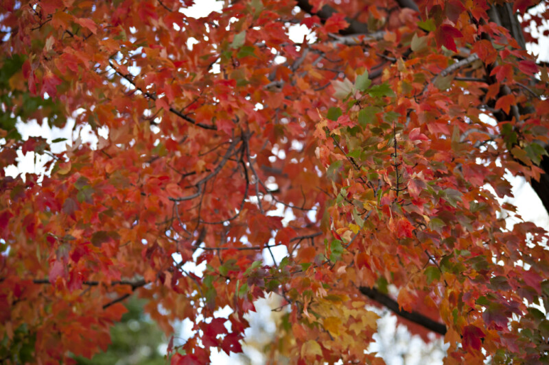 Sassafras Leaves During Fall