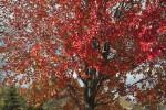 Sassafras Tree at Evergreen Park