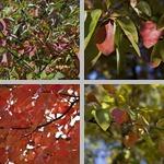 Sassafras Trees photographs