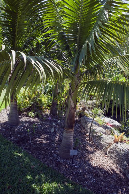 Satake Palm