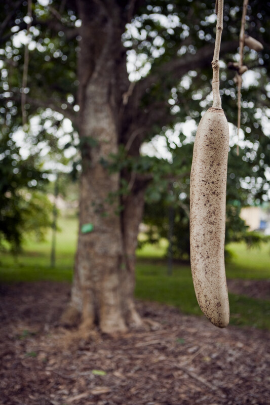 Sausage and Sausage Tree