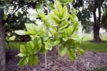 Sausage Tree Leaves