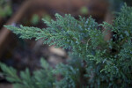Savin Juniper Leaves