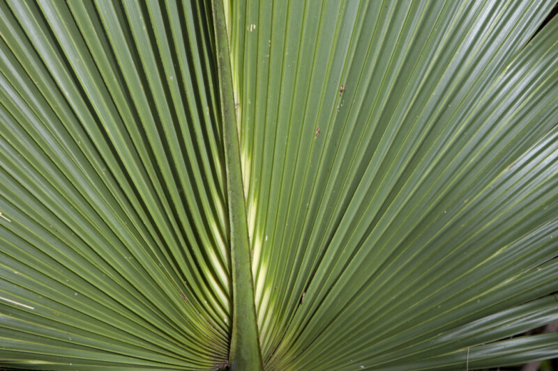 Saw Palmetto Frond Close-Up