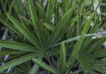 Saw Palmetto Leaves Close-Up