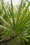 Saw Palmetto Leaves